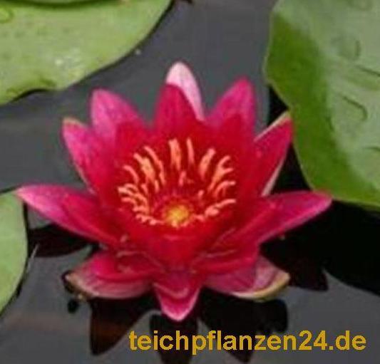 5 Zwergseerosen, Zwergseerose für den Teich, Farbwahl möglich