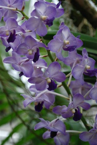 1 blühfähige Orchidee der Sorte: Ascocenda x Rhy. Coelestis