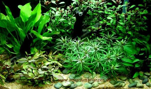 Mühlan - komplettes Wasserpflanzensortiment + Dünger, 12 Bund + 2 Mooskugeln Aquarienpflanzen für al