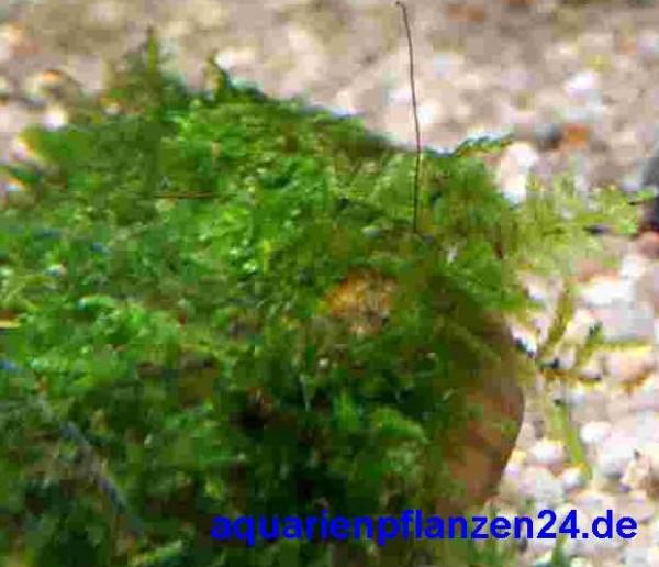 Wurzel bepflanzt mit Javamoos für Aquarium
