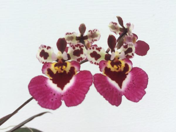 1 blühfähige Orchidee der Sorte: Tolumnia variegatum = Oncidium variegatum, traumhafte Orchidee vom