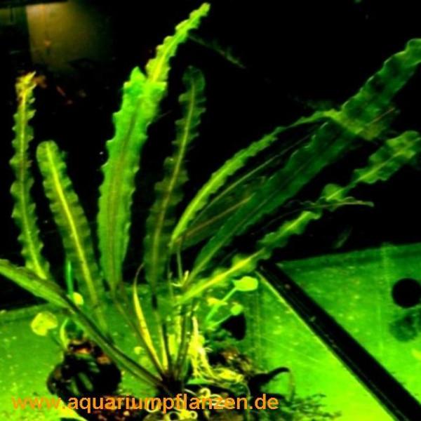 1 Aponogeton capuroni, Wasserähre, stark gewellt