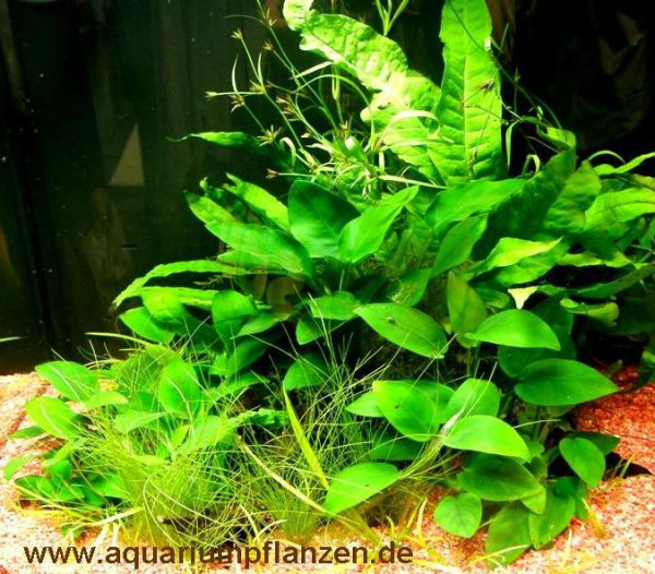 Mühlan - 5 Topf Anubia + 3 Topf Javafarn + Aquarienpflanzen Dünger - barschfestes Wasserpflanzensor