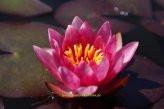 1 HALBZWERGSEEROSE Sorte Vesuve, tiefrote Blüte