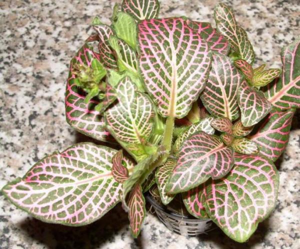 1 Topf Fittonia argyronauta, rot, Sumpfpflanze