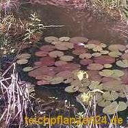100 g lebende Bakterien + 1 Seerose für den Teich
