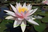 1 SEEROSE der Sorte Fritz Junge pfirschrosa Blüte
