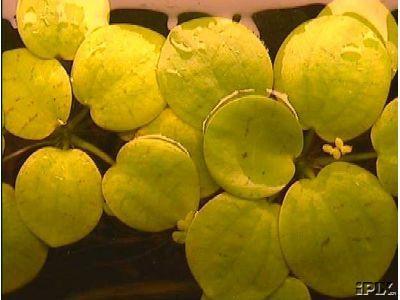 Mühlan - 10 Froschbiss als Schwimmpflanzen für den Gartenteich / Teich, dekorativ und algenhemmend