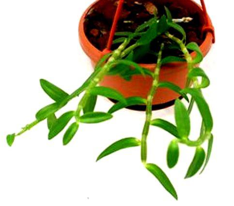 1 blühfähige Orchidee der Sorte: Dendrobium lodegesii, 12cm Ampel