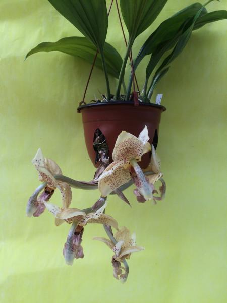 1 blühfähige Orchidee der Sorte: Stanhopea occulata , traumhafte Orchidee vom deutschen Züchter