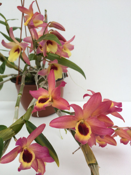 1 blühfähige Orchidee der Sorte: Dendrobium Meinen Hebammen, traumhafte Orchidee vom deutschen Züch