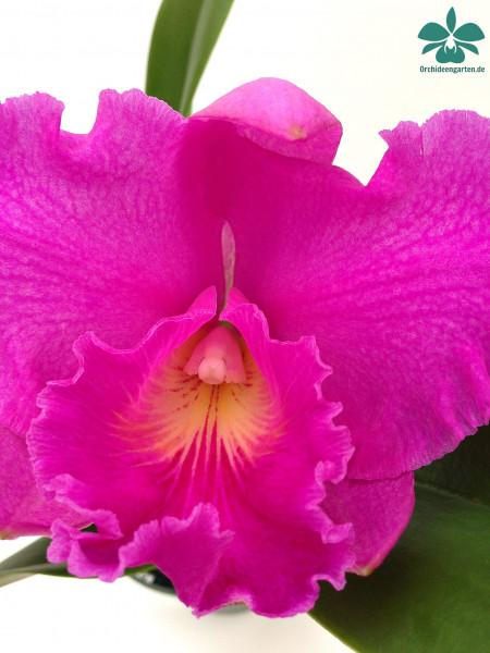 1 blühfähige Orchidee der Sorte: Cattleya Pink Empress , traumhafte Orchidee vom deutschen Züchter