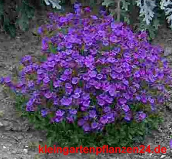 1 getopfte Pflanze für den Balkon, Blumenkasten in Gärtnerqualität