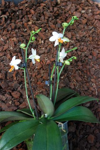 1 blühfähige Orchidee der Sorte: Phalaenopsis Mini Mark, 12cm Topf