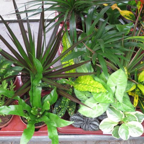 6 getopfte Zimmerpflanzen in Gärtnerqualität, Grünpflanzenmix mindestens 3 Sorten