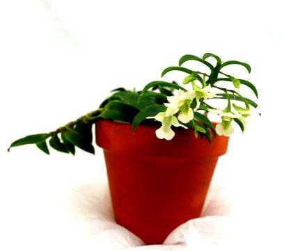 1 blühfähige Orchidee der Sorte: Dendrobium oligophyllum, 9cm Topf