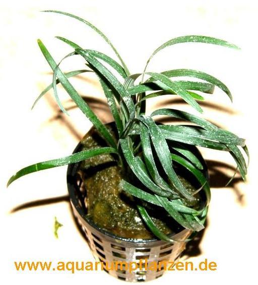 1 Topf ophiopogon japonicum, kleiner Schlangenbart