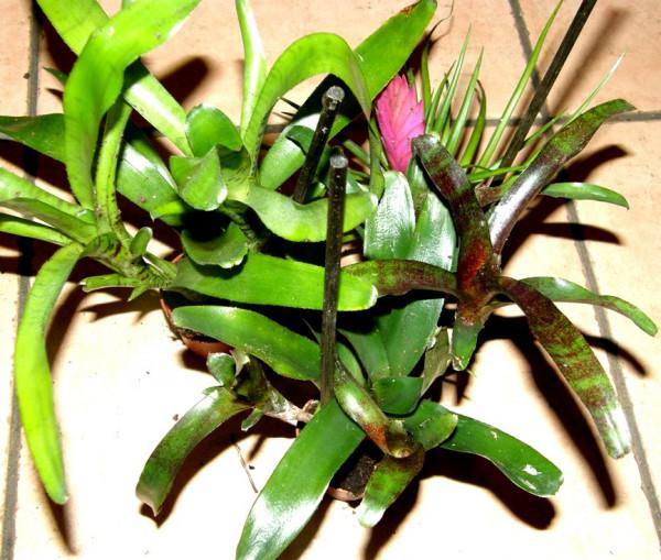 Bromelienmix 6 Bromelien mindestens 3 verschiedene Sorten für Terrarien und Paludarien