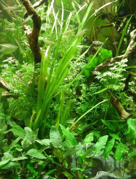 """Mühlan - Wasserpflanzensortiment """"Easy going"""", pflegeleicht, dekorativ, algenhemmend, robust inkl. D"""