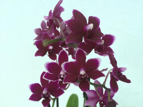 1 blühfähige Orchidee der Sorte: Phalaenopsis Black Pearl , traumhafte Orchidee vom deutschen Zücht