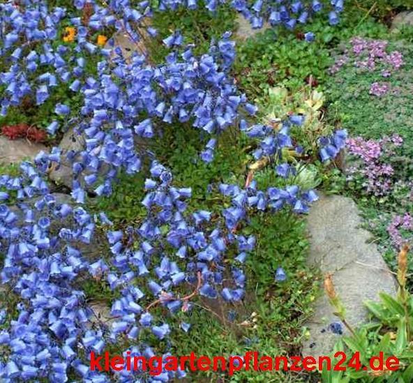 3 getopfte Pflanzen blau blühend in Gärtnerqualität, mindestens 3 Sorten, blauer Garten