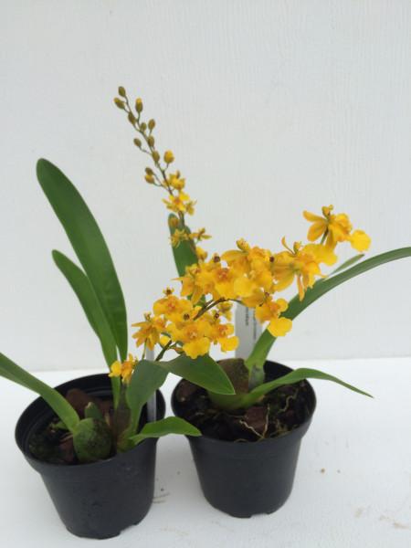 1 blühfähige Orchidee der Sorte: Oncidium cheirophorum x Fragrancia, traumhafte Orchidee vom deutsc