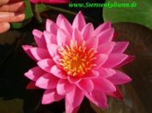 Mühlan - Eine rosa blühende Seerose für den Teich, der Blickfänger für den Gartenteich, winterharte