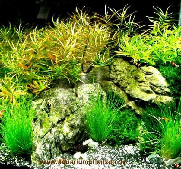 Mühlan - Wasserpflanzen Vordergrundmix, 4 Bund Aquarienpflanzen + 4 Wasserpflanzentöpfe inkl. Wasser