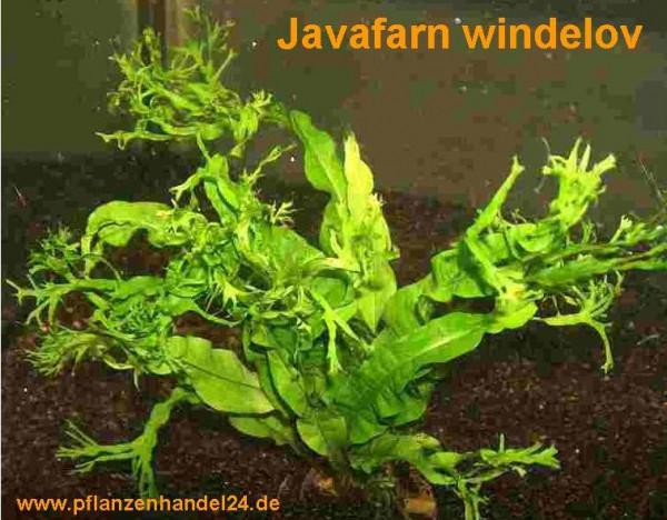 1 Topf Microsorum pteropus Windelov, Javafarn