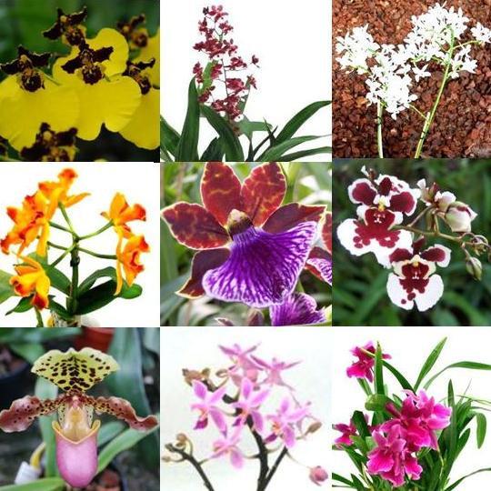 1 blühfähige Orchidee der Sorte: Aerides odoratum, aufgebunden