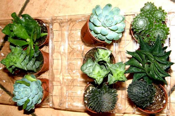 Sukkulentenmix 9 Sukkulenten mindestens 4 verschiedene Sorten für Terrarien und Paludarien