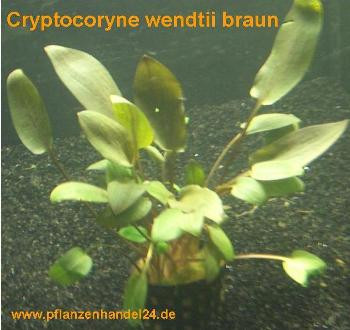 1 Topf Cryptocoryne wendtii braun, Wasserpflanzen