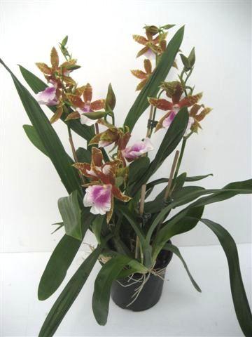 1 blühfähige Orchidee der Sorte: Miltonia Goodaile Moir, 12-13cm Topf