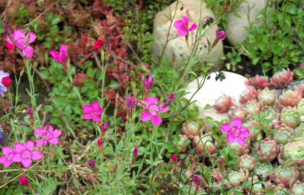 6 getopfte Pflanzen für den Steingarten in Gärtnerqualität, mindestens 3 Sorten