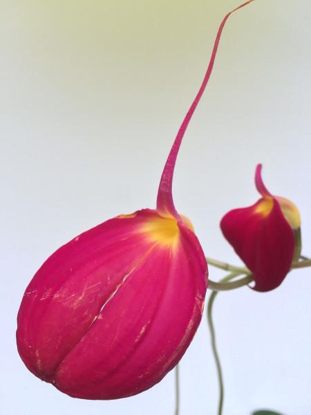 1 blühfähige Orchidee der Sorte: Masdevallia coccinea Thea , traumhafte Orchidee vom deutschen Züch