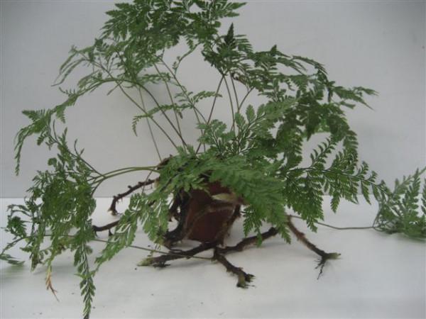 1 x Davallia canariensis Farn, 9cm Topf, Rarität