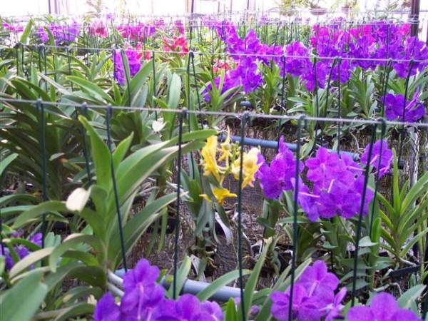 1 blühfähige Orchidee der Sorte: Ascocenda Mikasa, aufgebunden, blüht pink, blau, weiß