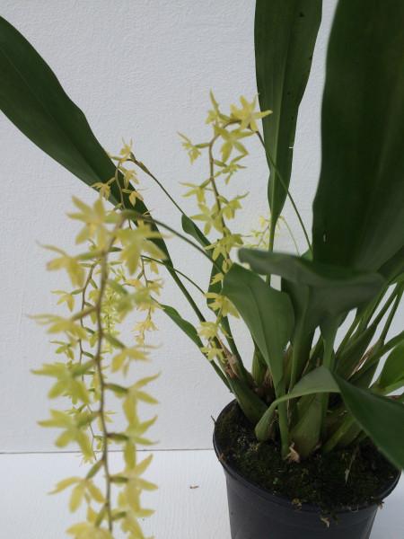 1 blühfähige Orchidee der Sorte: Dendrochillum glumaceum , traumhafte Orchidee vom deutschen Züchte