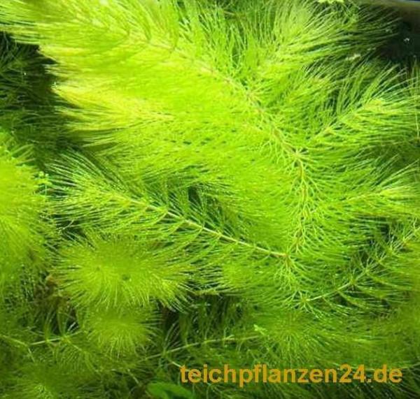 Mühlan - 7 Bund / Portionen Hornkraut für den Gartenteich, Sauerstoffpflanzen für den Teich, winterh