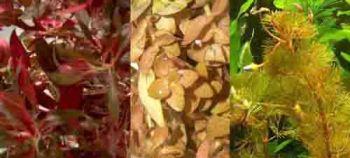40 rote Wasserpflanzen und Dünger für 6.000 l