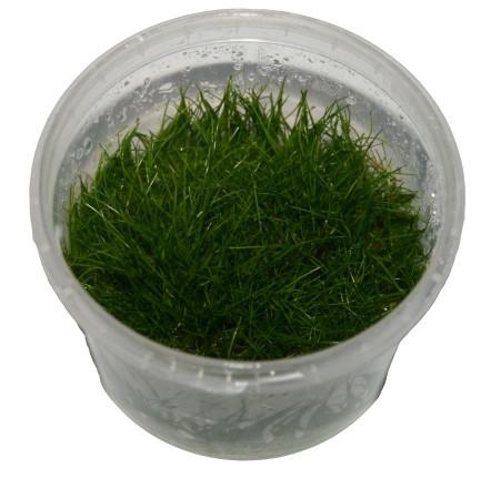 1 Dose Elocharis parvula invitro, Nadelsimse, Wasserpflanzen steril angezogen