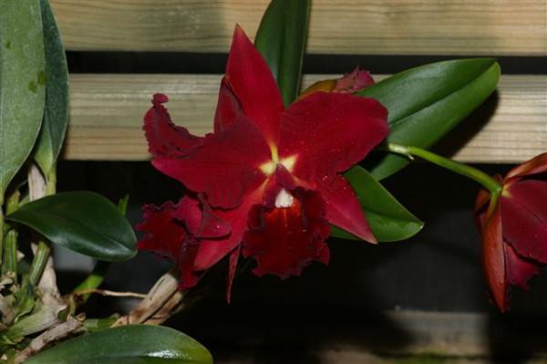 1 blühfähige Orchidee der Sorte: Slc. Mea Hawkins 'Miya', traumhafte Orchidee vom deutschen Züchter