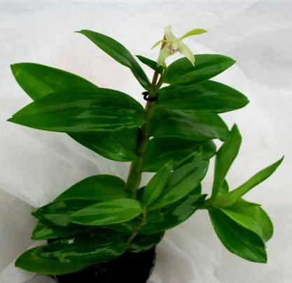1 blühfähige Orchidee der Sorte: Dendrobium antennatum, 9cm Topf