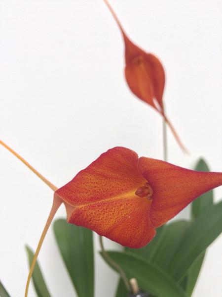 1 blühfähige Orchidee der Sorte: Masdevallia Huayana Picchu , traumhafte Orchidee vom deutschen Züc