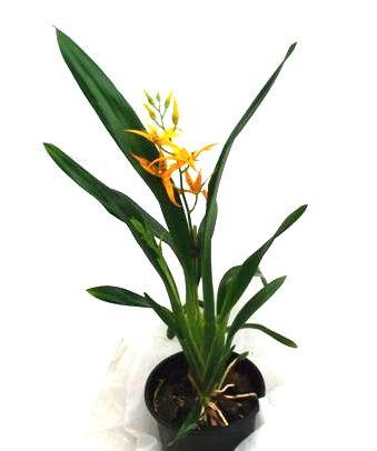 1 blühfähige Orchidee der Sorte: Brassada Mivada, 12cm Topf