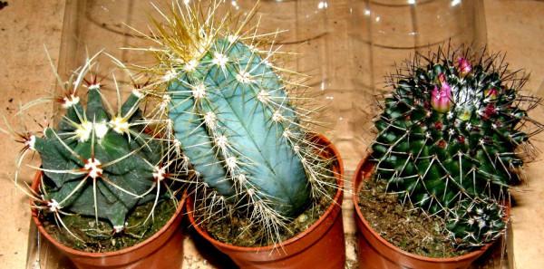Kakteenmix 3 verschiedene Kakteen für Terrarien und Paludarien, Kaktus