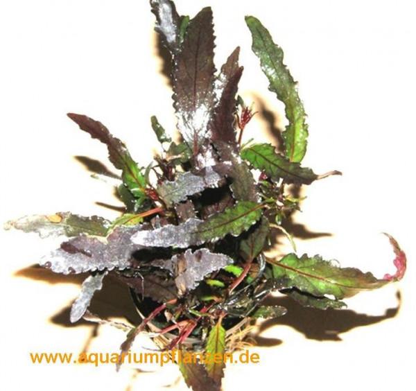 1 Topf Hemigraphis repanda, Sumpfpflanzen
