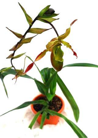 1 blühfähige Orchidee der Sorte: Phragmipedium sargentianum x longifolium, 16cm Topf