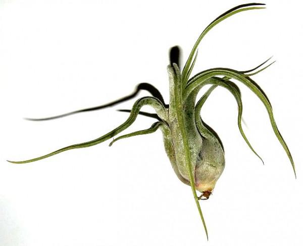 1 Tillandsia seleriana, Tillandsien für Terrarien, Aufsitzerpflanzen
