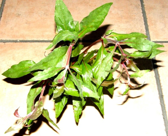 1 Topf Alternanthera bettzickiana, Papageienblatt